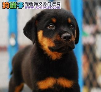 精品防暴护卫犬罗威那幼犬凶猛忠诚纯种健康保障