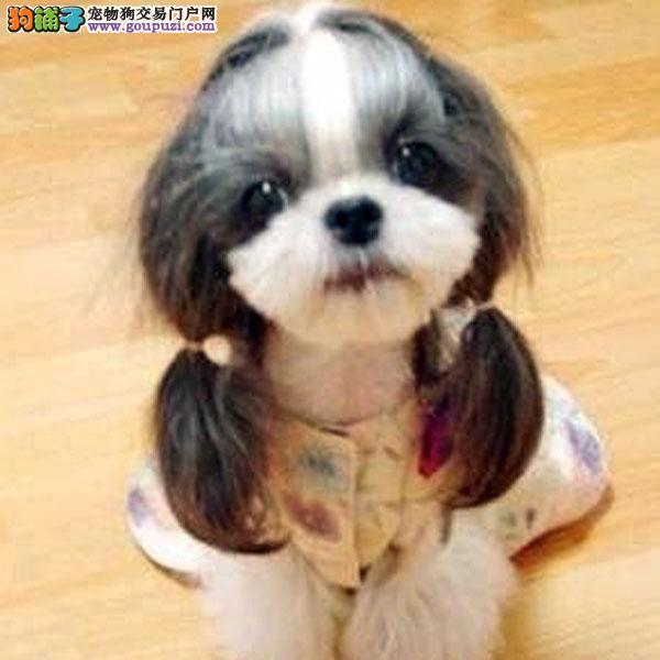 极品小体西施犬 尊贵犬种,高端伴侣犬 玩赏犬