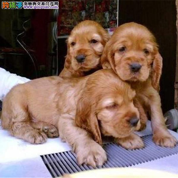美系可卡犬 英系可卡犬签协议 保健康正规狗场