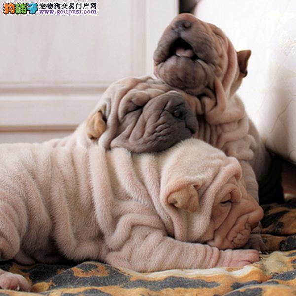 可爱的沙皮幼犬 皱脸沙皮 适应能力强 血统纯正