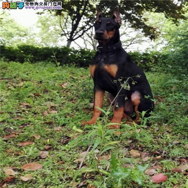 武汉正规狗场犬舍直销杜宾犬幼犬送用品送狗粮