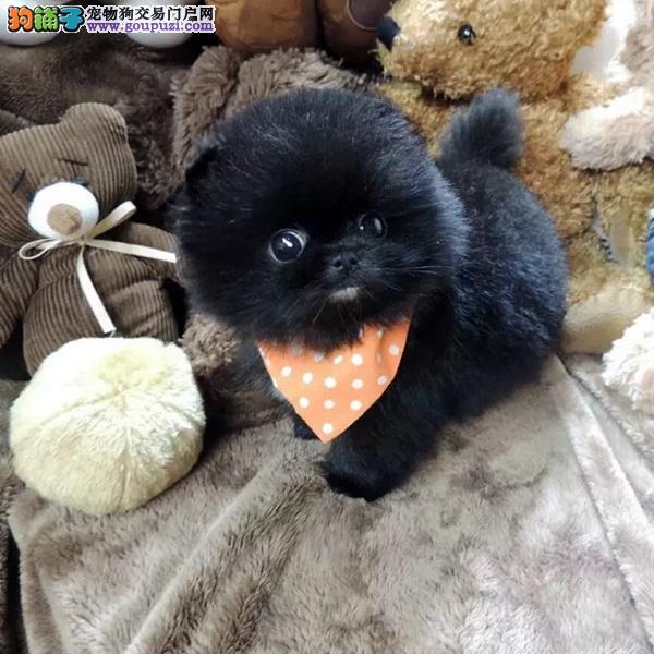 纯种活泼可爱哈多利版最小球体博美 茶杯体博美犬