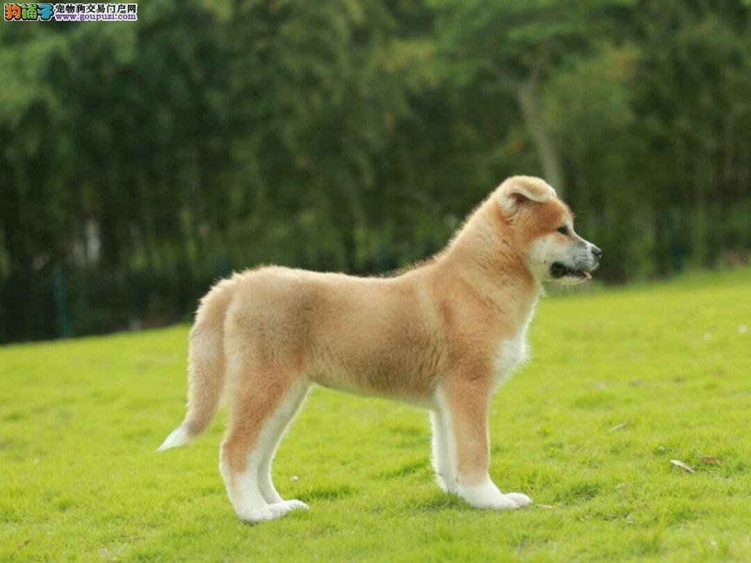南宁宠物狗出售纯种健康、南宁养殖场出售纯种秋田