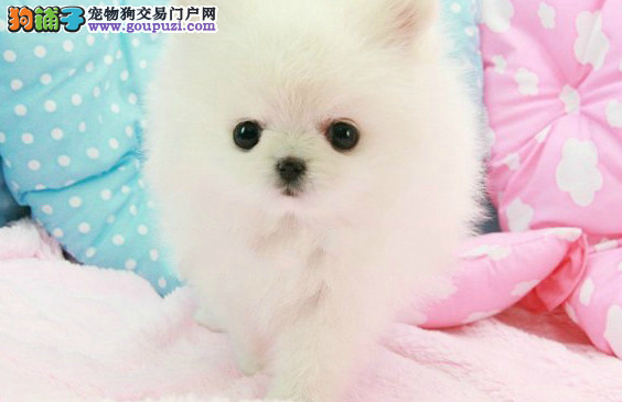 南宁宠物狗出售纯种健康、南宁养殖场出售纯种博美