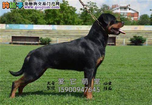 狗场直销 高品质罗威纳犬 有公母 可上门 健康有保障