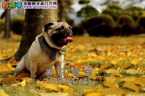 新疆巴哥好养三个月狗狗全国发货