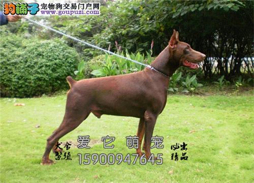 新疆正规犬舍杜宾包纯种下单有礼全国发货