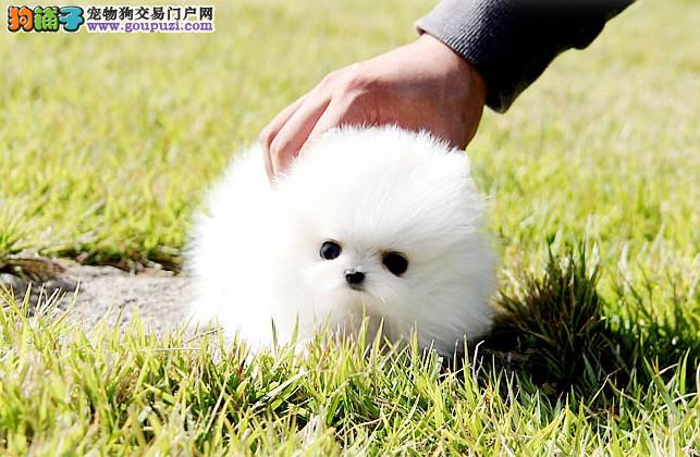 长沙出售各种宠物狗、品种齐全、出售纯种健康博美