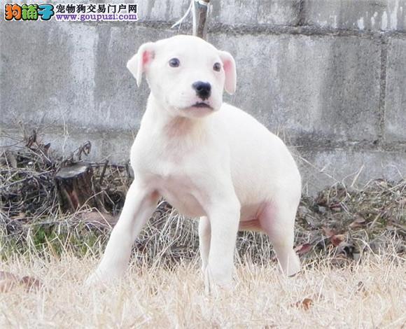 基地出售纯种杜高幼犬已做疫苗驱虫杜高打猎一把手
