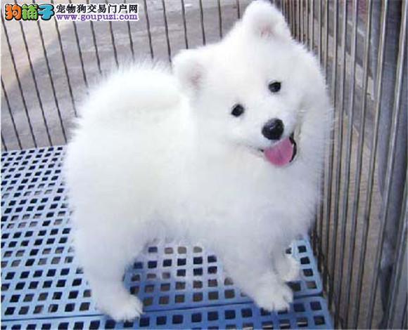 专业养殖纯种萨摩耶幼犬 签健康协议 可送狗发狗