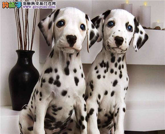 高品质斑点狗、大麦町犬、健康质保、售后三包、