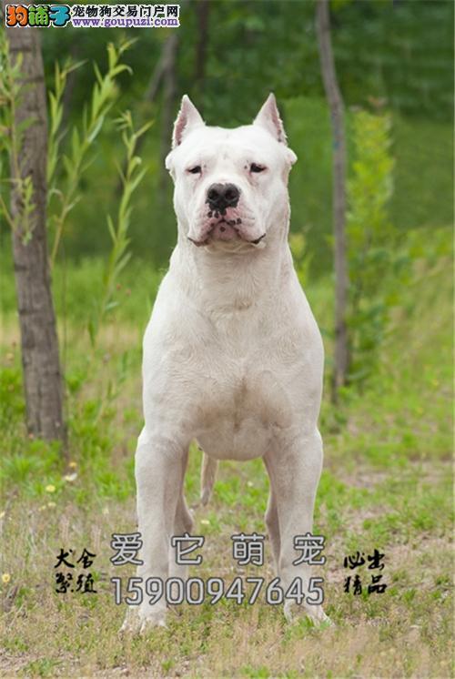 北京犬舍杜宾精品灵性幼犬包纯种全国发货