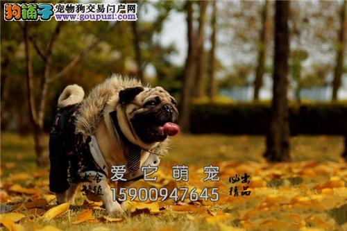 江西正规犬舍巴哥聪明幼犬保健康全国发货