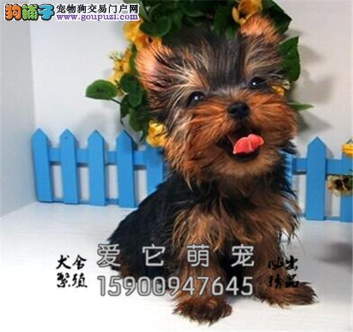 广东约克夏赛级漂亮超萌全国发货