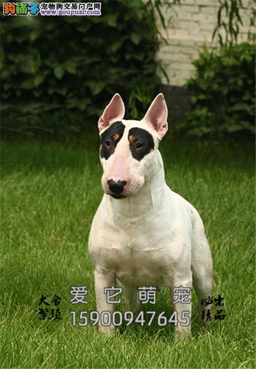 广东家养牛头梗极品海盗眼犬全国发货