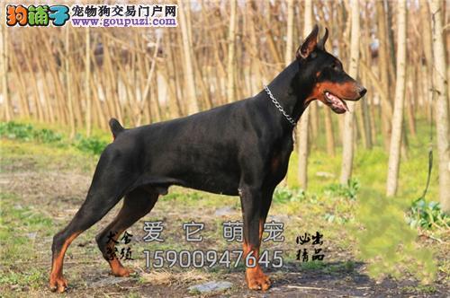 广东杜宾骨量足灵性犬驱虫已做全国发货