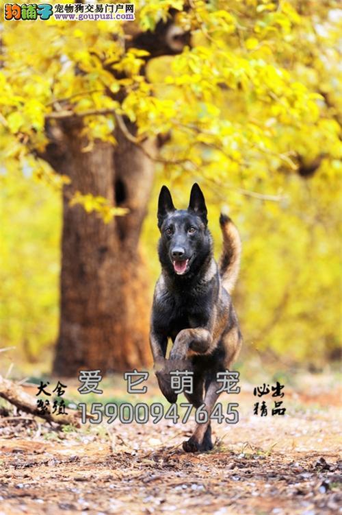 浙江马犬找新家包纯种全国包运全国发货