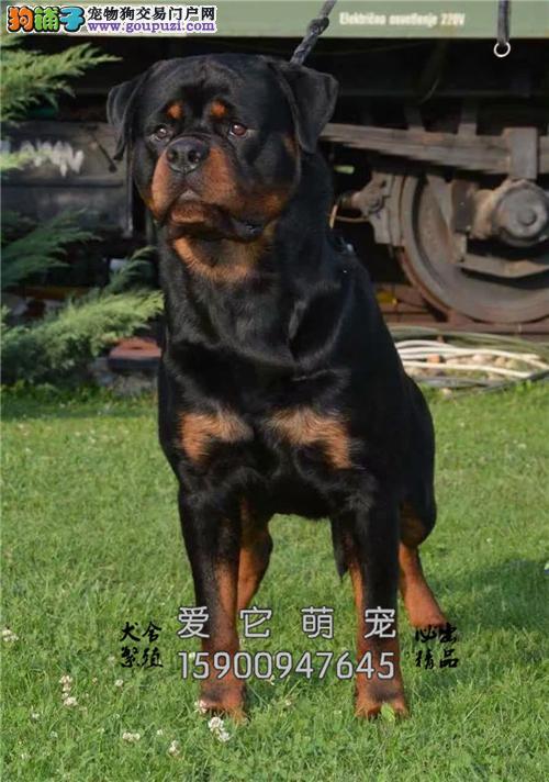 出售 罗威纳犬 高品质  包健康 上门送货