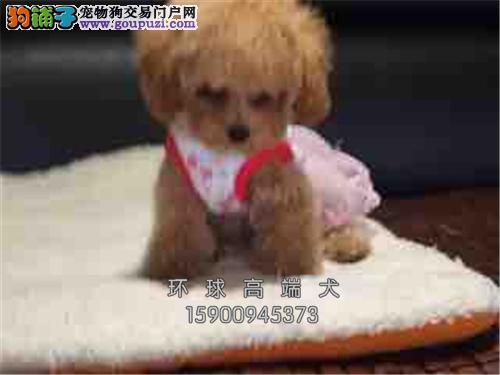 天津专业繁殖泰迪漂亮袖珍全国发货