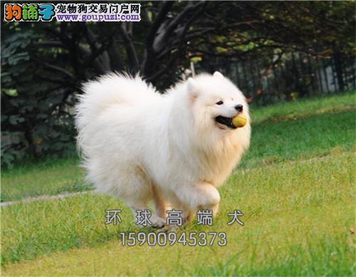 犬舍直销精品萨摩耶签协议包养活三个月可退换