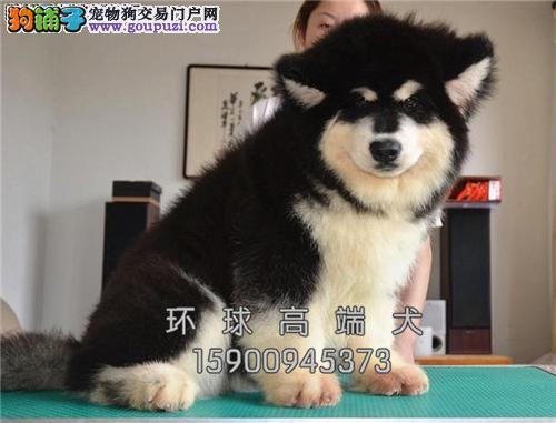 天津出售阿拉斯加自家养新生小犬全国发货
