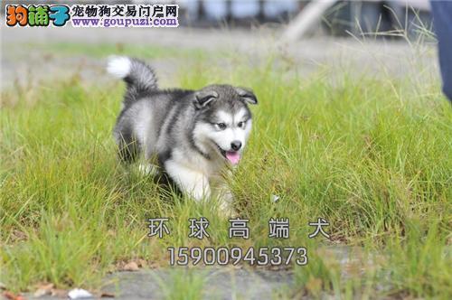 天津哪里有阿拉斯加低价出售小犬全国发货