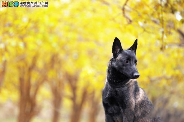 天津马犬高品相聪明三个月全国发货