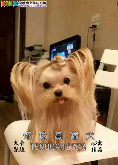 出售纯种 约克夏约克夏幼犬 保证健康3个月退换