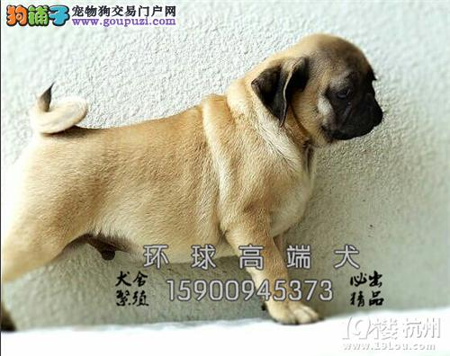 天津犬舍巴哥聪明犬双血统送用品全国发货