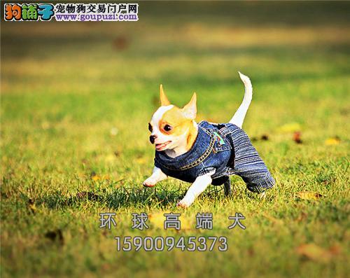 出售超可爱吉娃娃宝宝吉娃娃幼犬健康品质保证