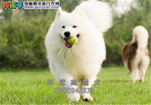 天津萨摩耶出售微笑狗狗送用品全国发货