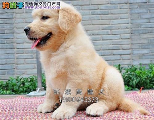 天津出售金毛纯种低价出售全国发货