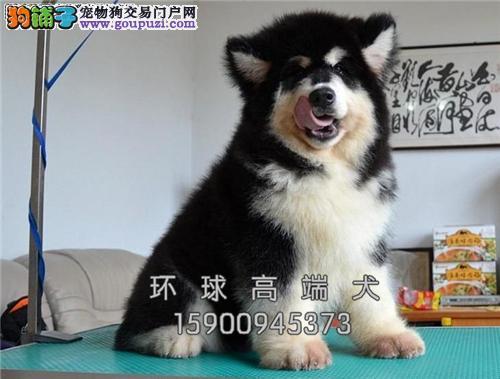 天津阿拉斯加小狗狗包纯种双血统全国发货