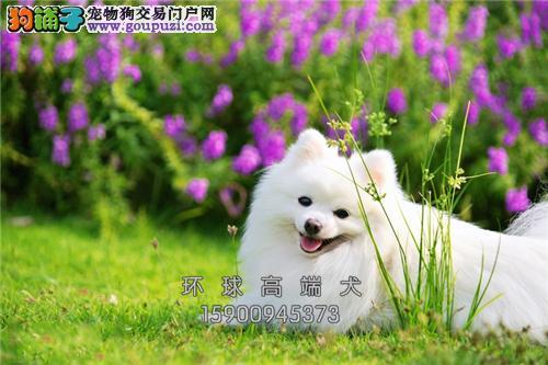 天津最大犬舍博美球形上门打折全国发货