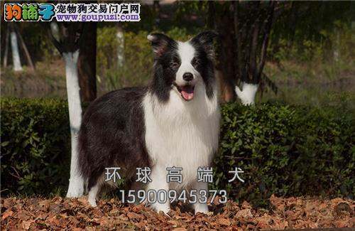 天津专业繁殖边牧乖巧下单有礼全国发货
