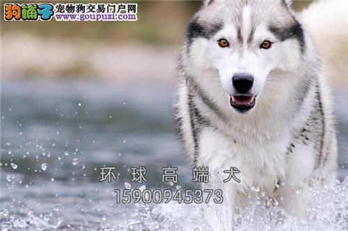 天津哈士奇骨量足小雪橇犬保健康全国发货