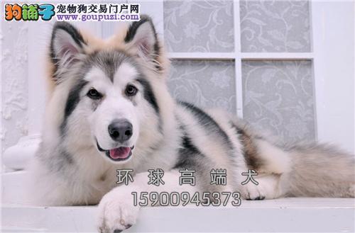 天津犬舍阿拉斯加聪明熊版幼犬全国发货
