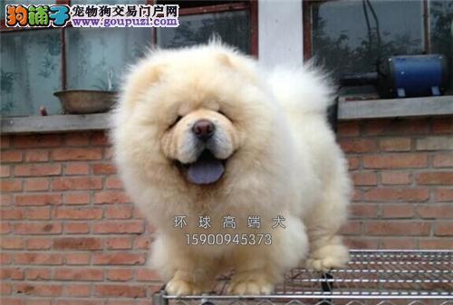 天津犬舍松狮赛级极品紫舌带证书全国发货