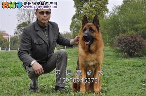 基地出售赛级品德牧犬保健康 包纯种 签质保
