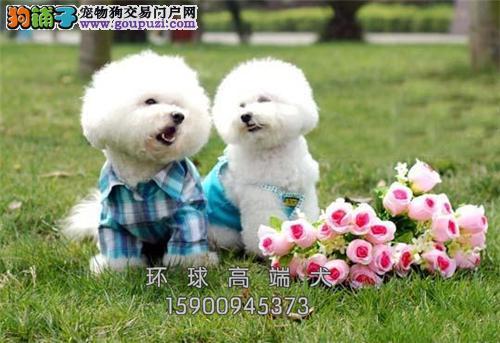 天津比熊乖巧极品法国犬全国发货