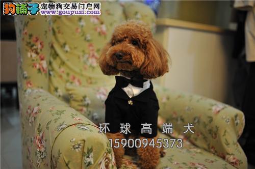 专业繁殖贵宾犬出售签协议包健康