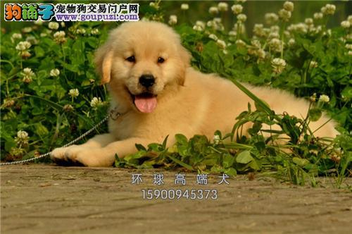 天津出售金毛好养纯种幼犬待售全国发货