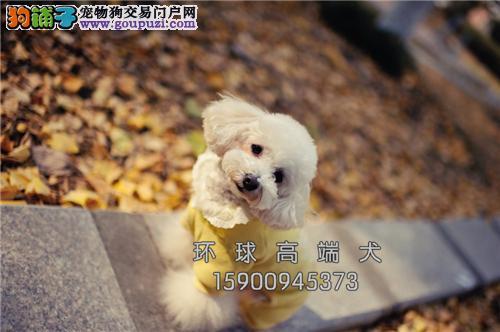 天津泰迪健康超萌狗狗全国发货