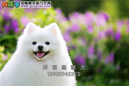 犬舍哈多利球体、茶杯、俊介幼犬、 纯种健康!!!