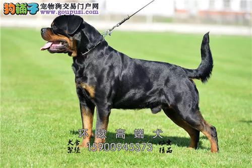 基地专业繁殖罗威纳犬 签协议 包健康 可上门