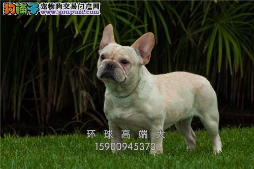 天津最大犬舍法牛健康憨厚包纯种全国发货