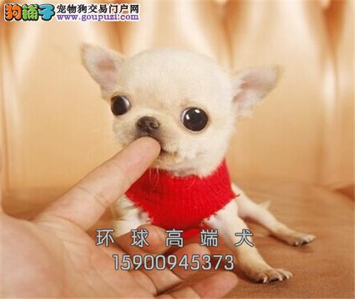 出售超可爱茶杯犬 幼犬健康品质保证