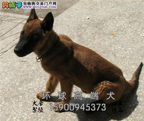天津正规犬舍马犬赛级出售全国发货