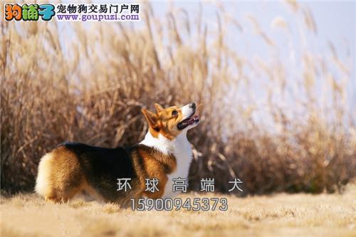 天津出售柯基新生聪明肥臀幼犬全国发货