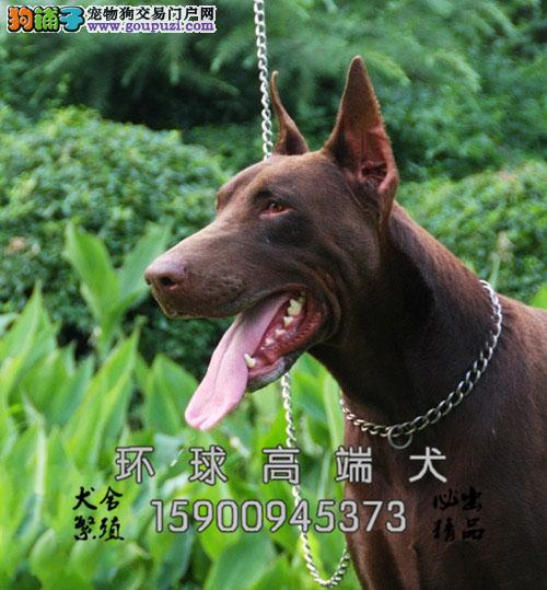 天津杜宾极品精品小犬幼犬待售全国发货